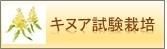 キヌア試験栽培